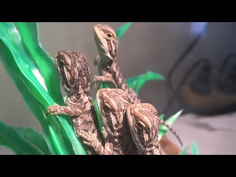BABY BEARDED DRAGONS!!