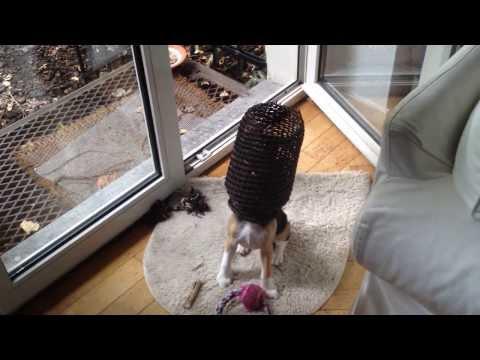 Beagle curieux