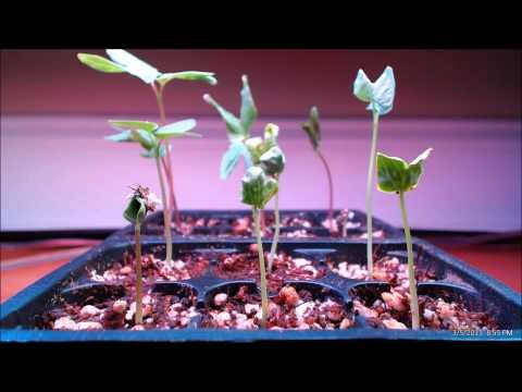 Morning Glory Seedlings Time-lapse