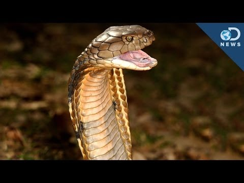 How Snakes Got Their Venom