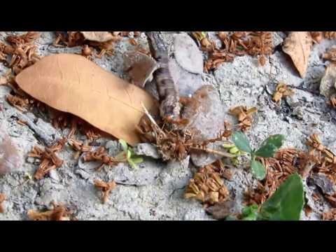 Centipede VS Ants