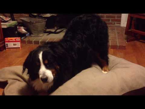 Bernese Mountain Dog Urinary Tract Infection Symptoms