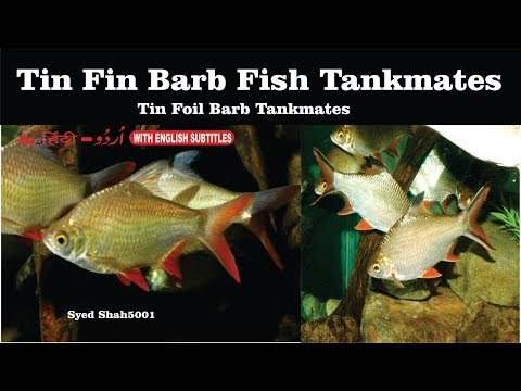 Tin fin barb fish Tankmates Tinfoil Barbs: peacefull fishes which can keep with Tinfoil barb fish