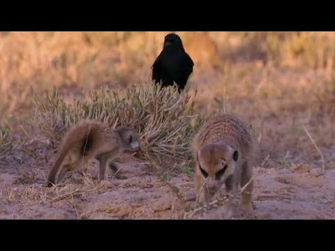 Bird tries to steal Meerkat pup's meal | BBC Earth