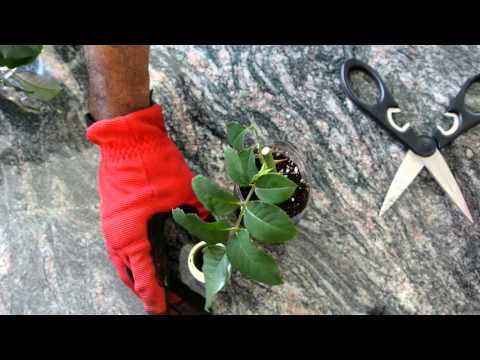 How to Grow Roses from Cuttings Fast and Easy!