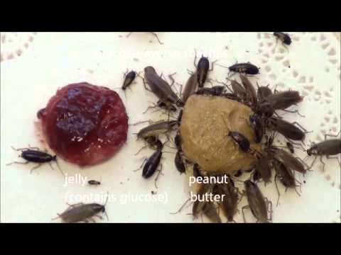 Sugar Is Bitter To Bait-Averse Cockroaches
