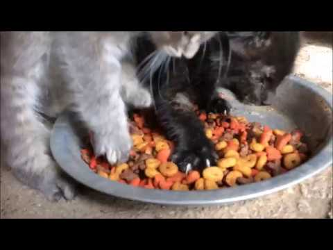 Funny Cat Video Hilarious Aggressive Eating Kitten doesn't want to share food Pets
