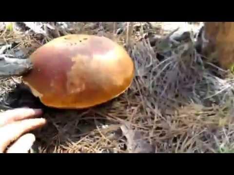 Porcini Mushroom Hunting