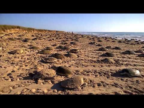 Tortugas lora registran la arribazón más numerosa desde 2011