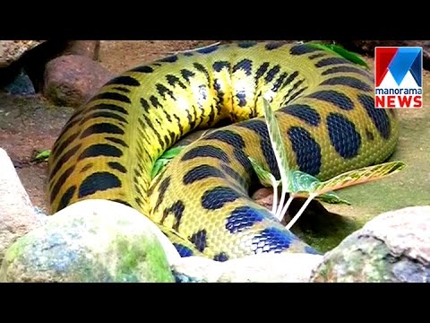 Angela anaconda to be mother soon   Manorama News