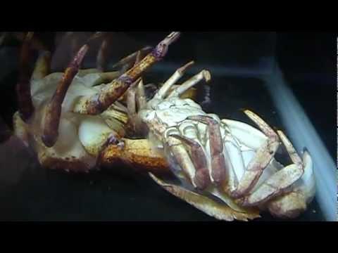 Red Rock Crab Shedding