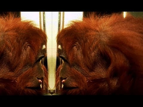 Xxx Mp4 Orangutan Recognises Himself Extraordinary Animals Earth 3gp Sex