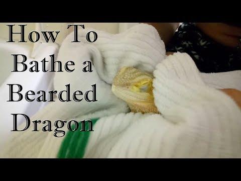 How To Bathe a Bearded Dragon