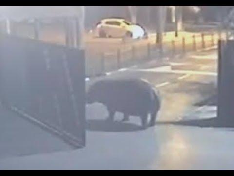 Hippo Walks Out of Israeli Safari, Then Walks Back In