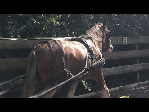 Carriage driving with Katie the clydesdale - Barry Hook, Horse Drawn Promotions
