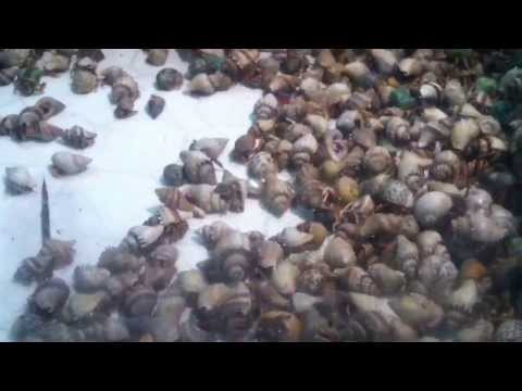 Hermit Crabs at Sea Shell City