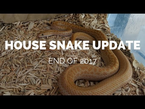 African house snakes UK update - End of 2017