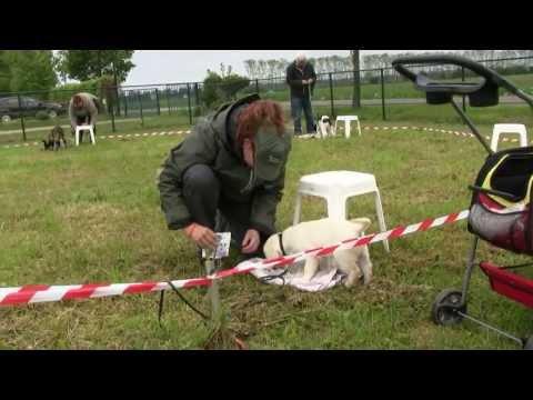 Pelle, a guide dog in training / Pelle, een blindengeleidehond in training