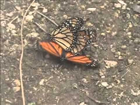 Monarch Butterfly Three Way Pairing