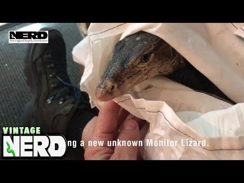 Unpacking a new unknown Monitor Lizard.