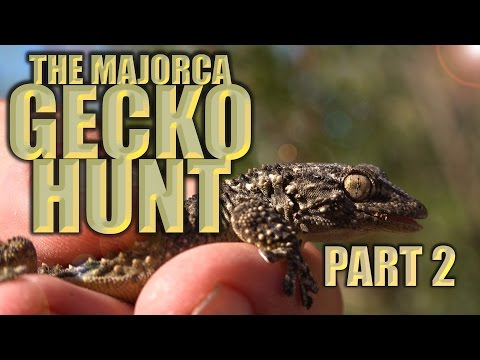 The Majorca Gecko Hunt - Part 2  - Herping in Spain