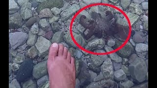 Little octopus comes to my foot changing his color (deimatic displays), Rare footage