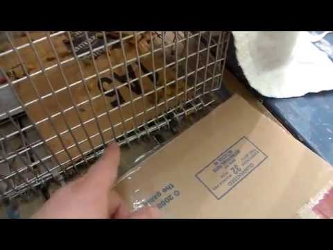 Easiest way to catch Stray Feral Cat Trapping  Cardboard Trick  Trap-Neuter-Return.