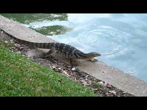 Water monitor lizard goes for a swim