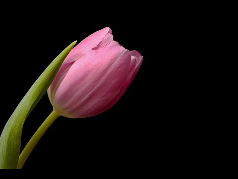How to make a beautiful and amazing tulip with crepe paper
