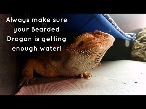 Bearded Dragon (Blaze) // Keep Your Dragon Hydrated!