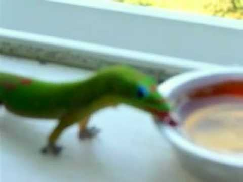 Gecko eats passionfruit jam!