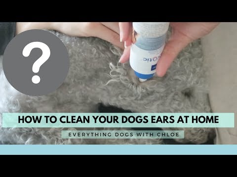 BEST WAY TO CLEAN DOG EARS AT HOME - USING EPIOTIC CLEAN EAR SOLUTION