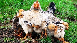 Cute Mama Hen and Chicks 🐓 Mother Hen Protecting Chicks 🐤 Baby Chicks & Hen Video
