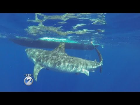 Researchers study nature of sharks in Hawaii waters