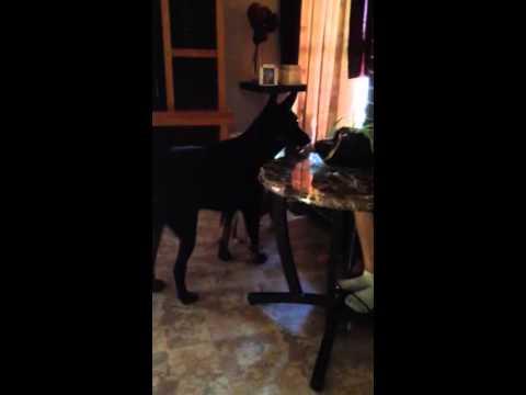 Dog barking at cat noise