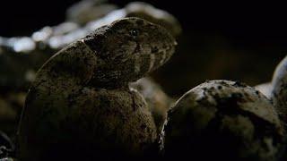 Hatching Of Tuatara Cannibals - Wild New Zealand - BBC Earth