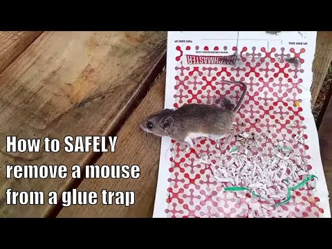 How to SAFELY remove a mouse from a glue trap