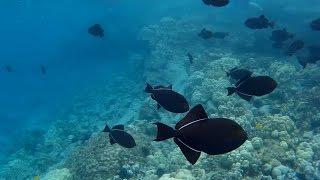 Footage: The Black Durgon At Kealakekua Bay (big Island, Hawaii)