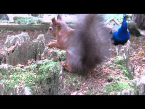 Red Squirrel & Peacock Brownsea Island