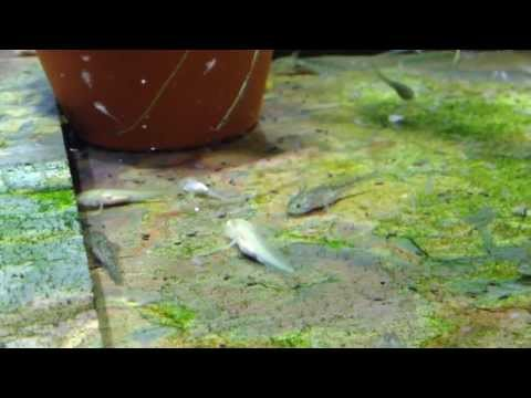 Axolotl babies eating Brine Shrimp