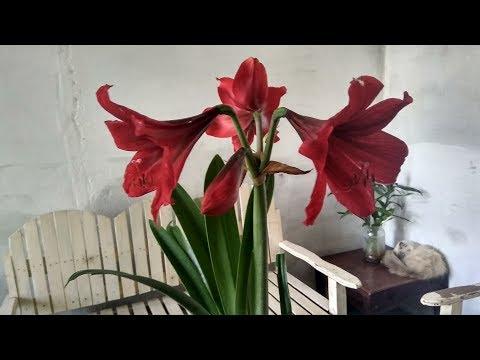 My Amaryllis Bloom Again