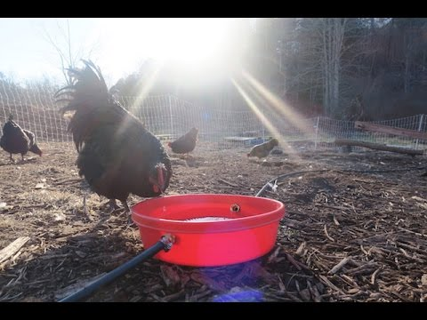 A chicken waterer that's always CLEAN, and NEVER freezes.