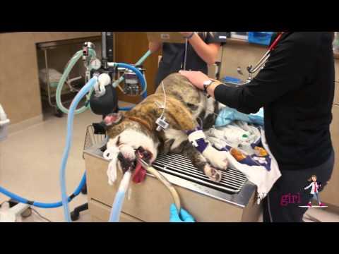 Bread Dough Toxicity in a Dog | VETgirl Veterinary CE Videos