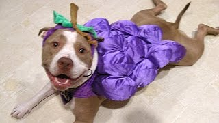 Pitbull Dogs And Puppies - A Funny Videos And Cute Videos Compilation || NEW HD