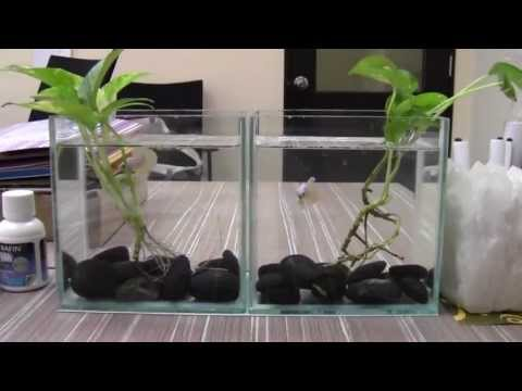 Tank Decoration for Betta Fish with Money Plant by Mr. Jarvic Lau