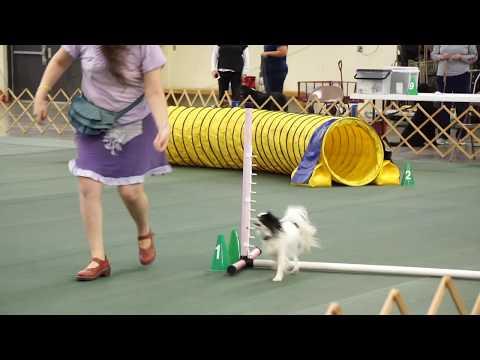 Hestia's pre agility class: week 7