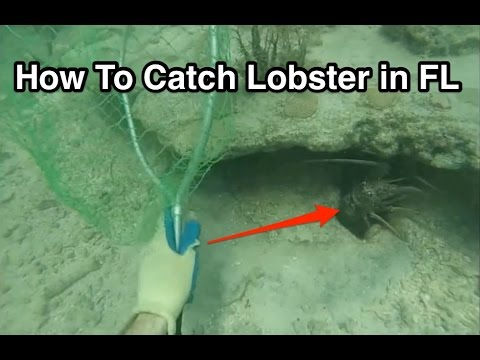 How to Catch Lobster in the Florida Keys While Snorkeling