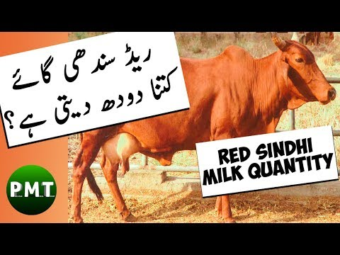 How Much Milk a RED SINDHI Cow Produce | Live Cow Milking Record by Ijaz Riaz Mastoi