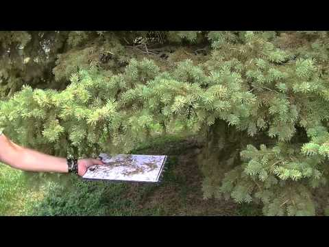Spruce Mites: How to keep trees and shrubs from mite damage