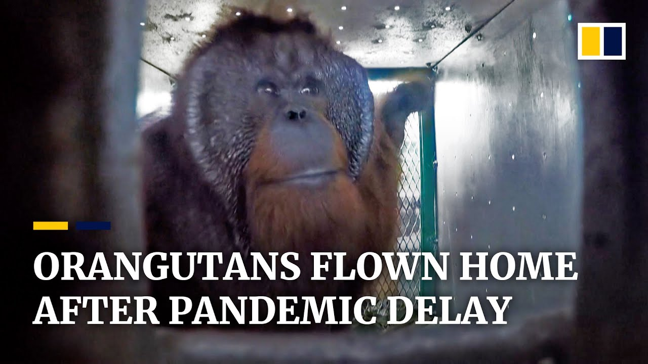 Return of the apes: Indonesia releases first group of rescued orangutans since start of pandemic